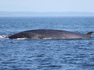 A Fin Whale in the Salish Sea