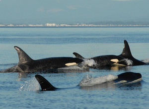 The Amazing Grandmothers of the Southern Resident orca community