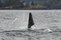 K21 chasing salmon