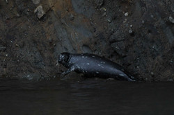 dark seal trying to blend in with with dark Spieden shoreline