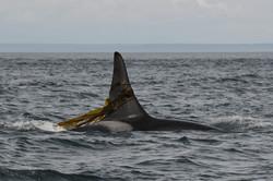 L87 trailing kelp
