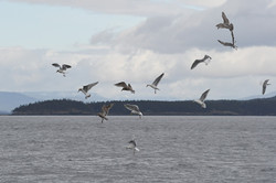 diving gulls