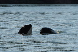 socializing whales