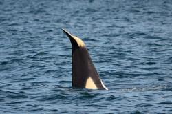 calf tail wave