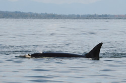 T124A1 with dead harbor porpoise