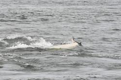 L90 grabs a salmon