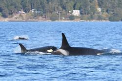 L117, L54, and Dalls porpoise