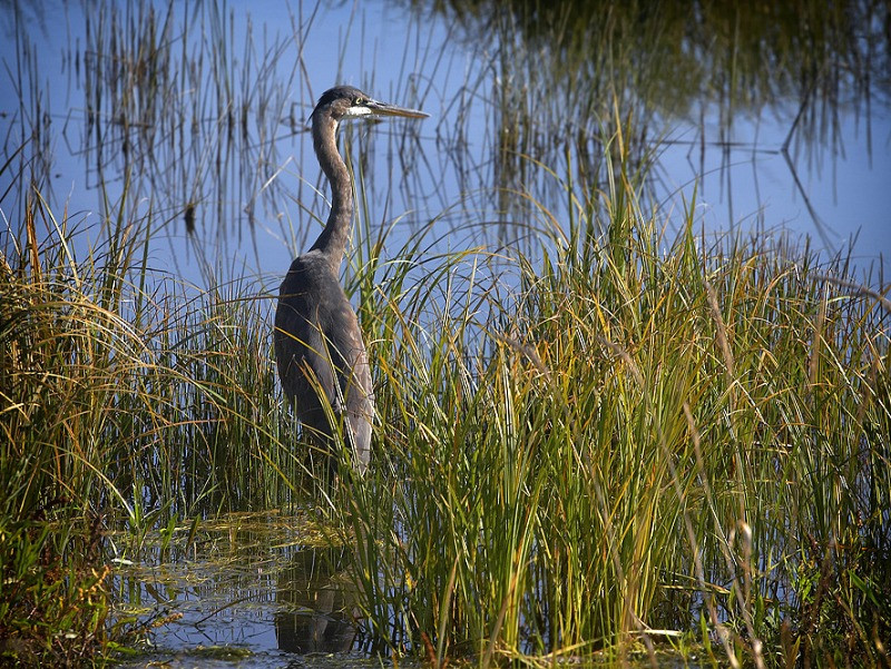Great Blue heron in marshland in the recovering Elwha River habitat