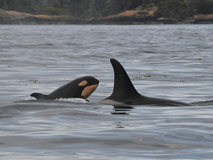 Restoring salmon runs, not politics, will save southern resident killer whales