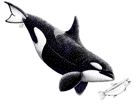 orca_salmon_edited_edited.png