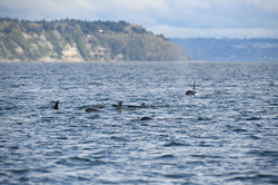 J pod in Admiralty Inlet