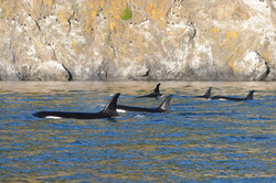 J pod at Kellett Bluff
