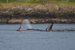 T2C1 surfaces next to log with cormorant