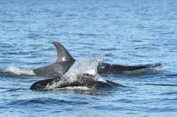 L117 and Dalls porpoise