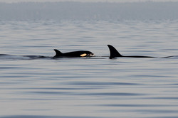 T35A with calf