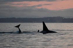 T2Cs attacking seal at sunset