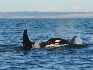 The Whale Pages: Reproductive Conflict in Killer Whales
