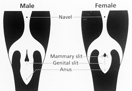Male & Female Orcas_Genitals.png