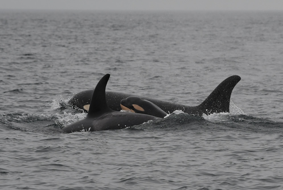 J51, new calf J58, and J41