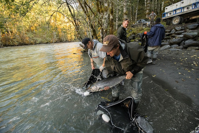 Release of salmon into the Elwha River