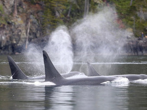 New evidence of menopause in Bigg's Transient killer whales
