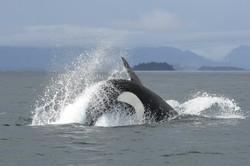 J26 chasing salmon