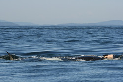J35 with its Deceased Calf