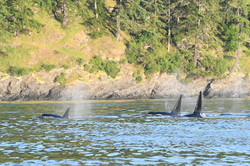 J pod and L87 at Kellett Bluff