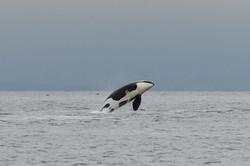 K37 breaches in the Strait of Georgia