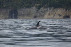 J41 foraging west Vancouver Island