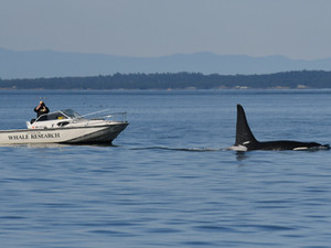 Who's who in killer whale field research in and around the San Juan Islands: a summary of local