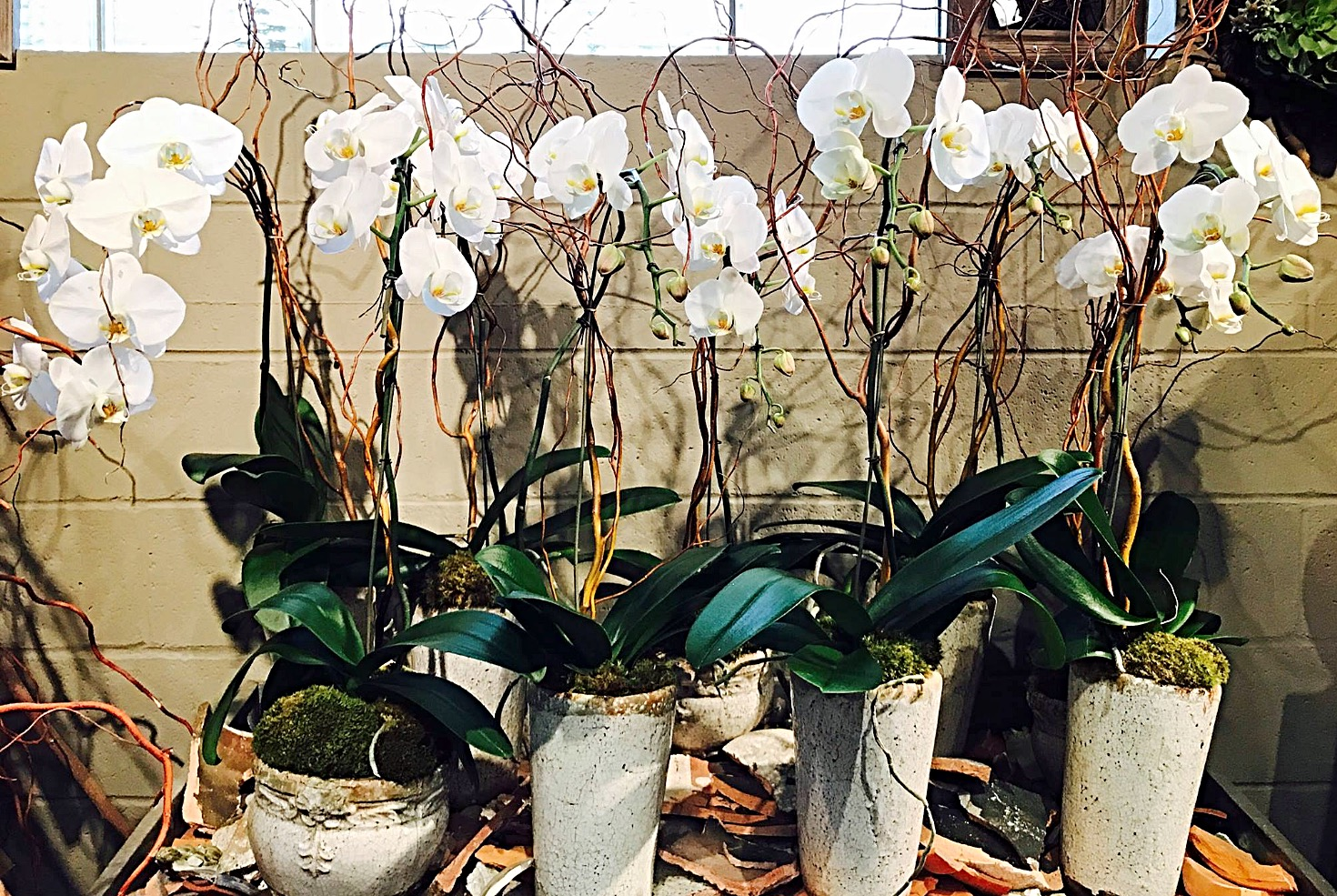 Wonderful While Phaleanopsis orchid plants.jpg