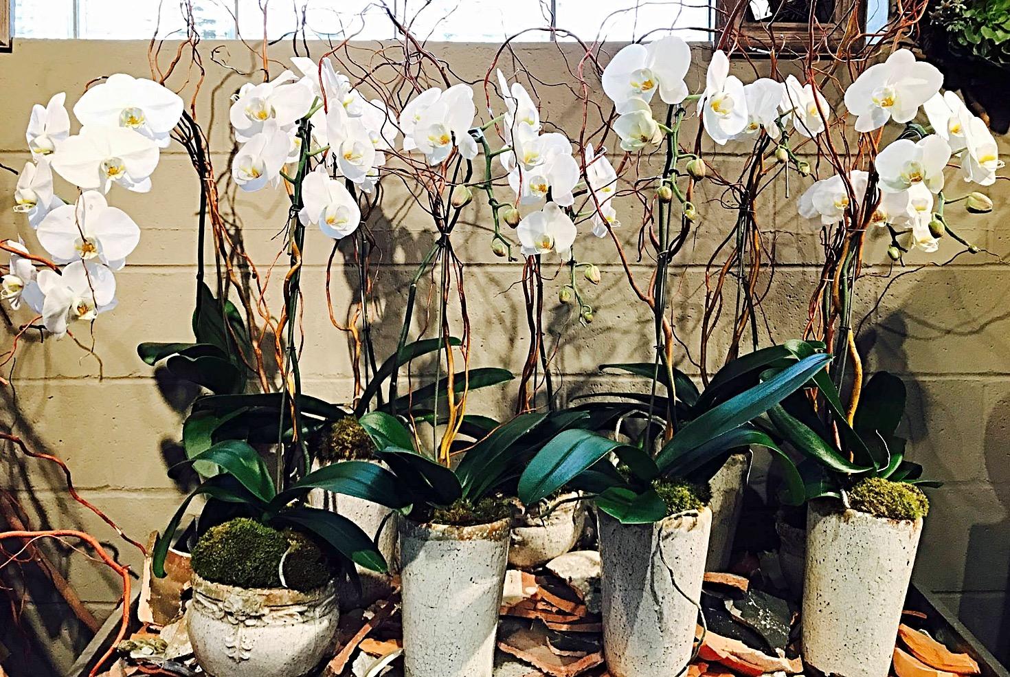 Wonderful While Phaleanopsis orchid plants.jpg
