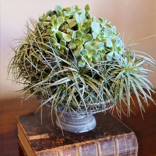 Air plant colony with a succulent cluster, sitting on french wire basket.