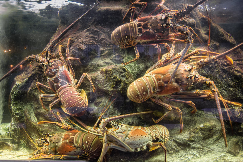 Ocean 82 Lobsters