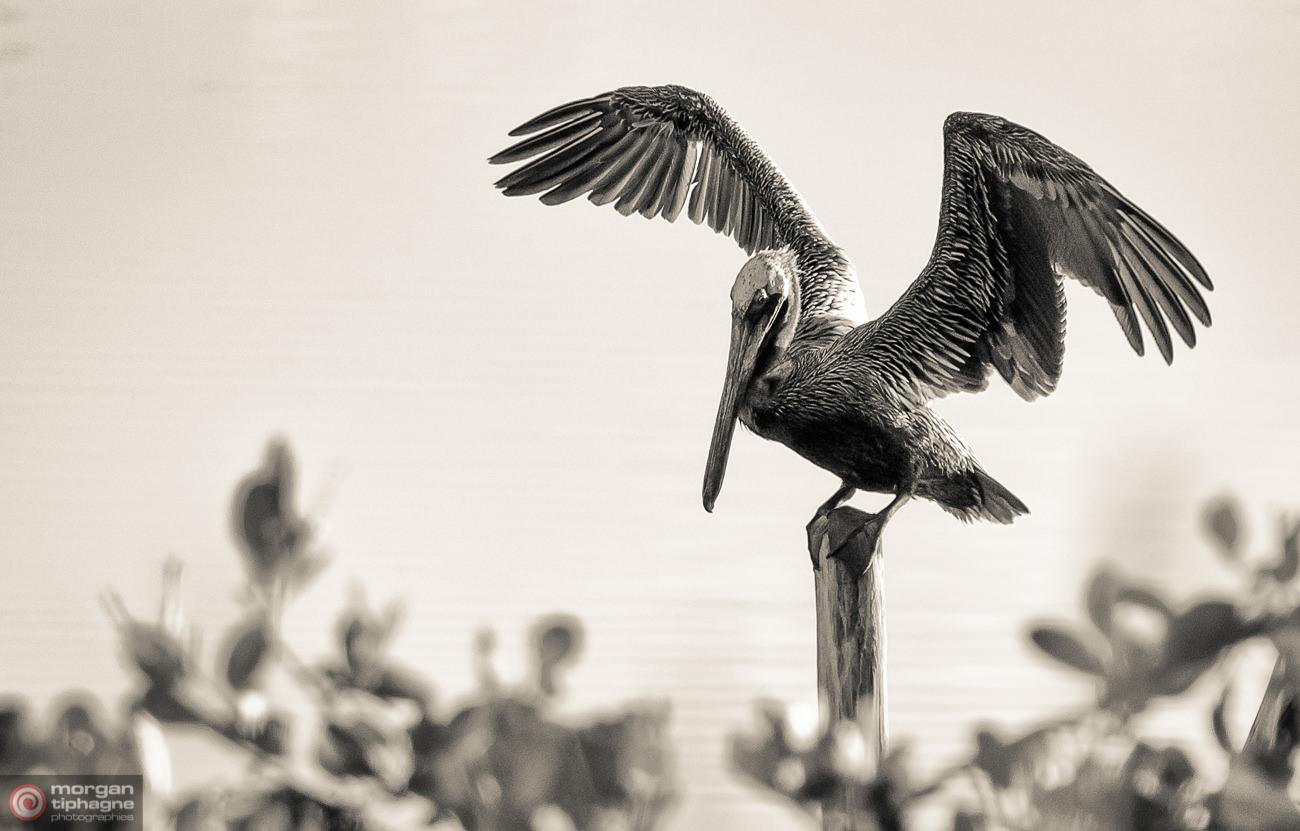 Sint Maarten pelican