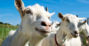 """Why Goat Milk is a Better Choice than Plant-Based """"Milks"""""""