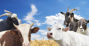 Goat Milk, Cow Milk, Sheep Milk: What Are the Differences?