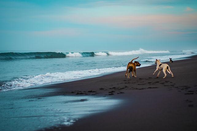dogs playing on beach-unsplash.jpg