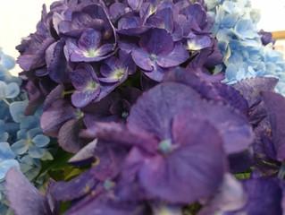 梅雨空に紫陽花(あじさい)