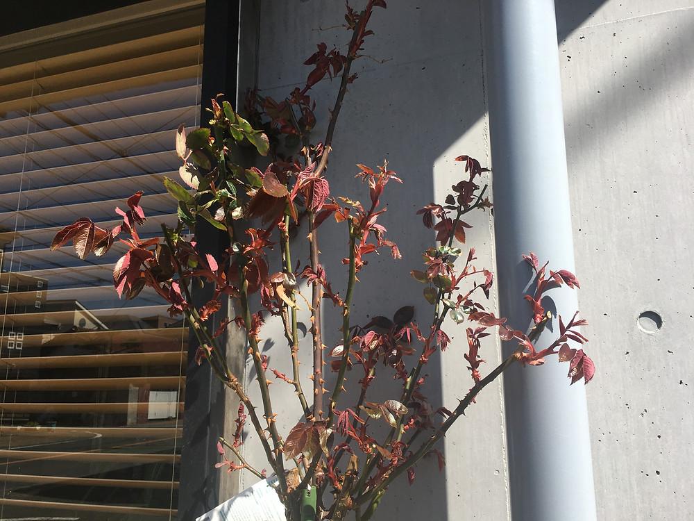 美容室 ダフ  茅ヶ崎 湘南 バラ栽培