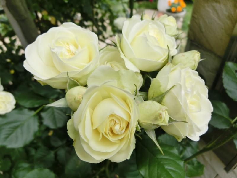 クリーミーエデン 薔薇