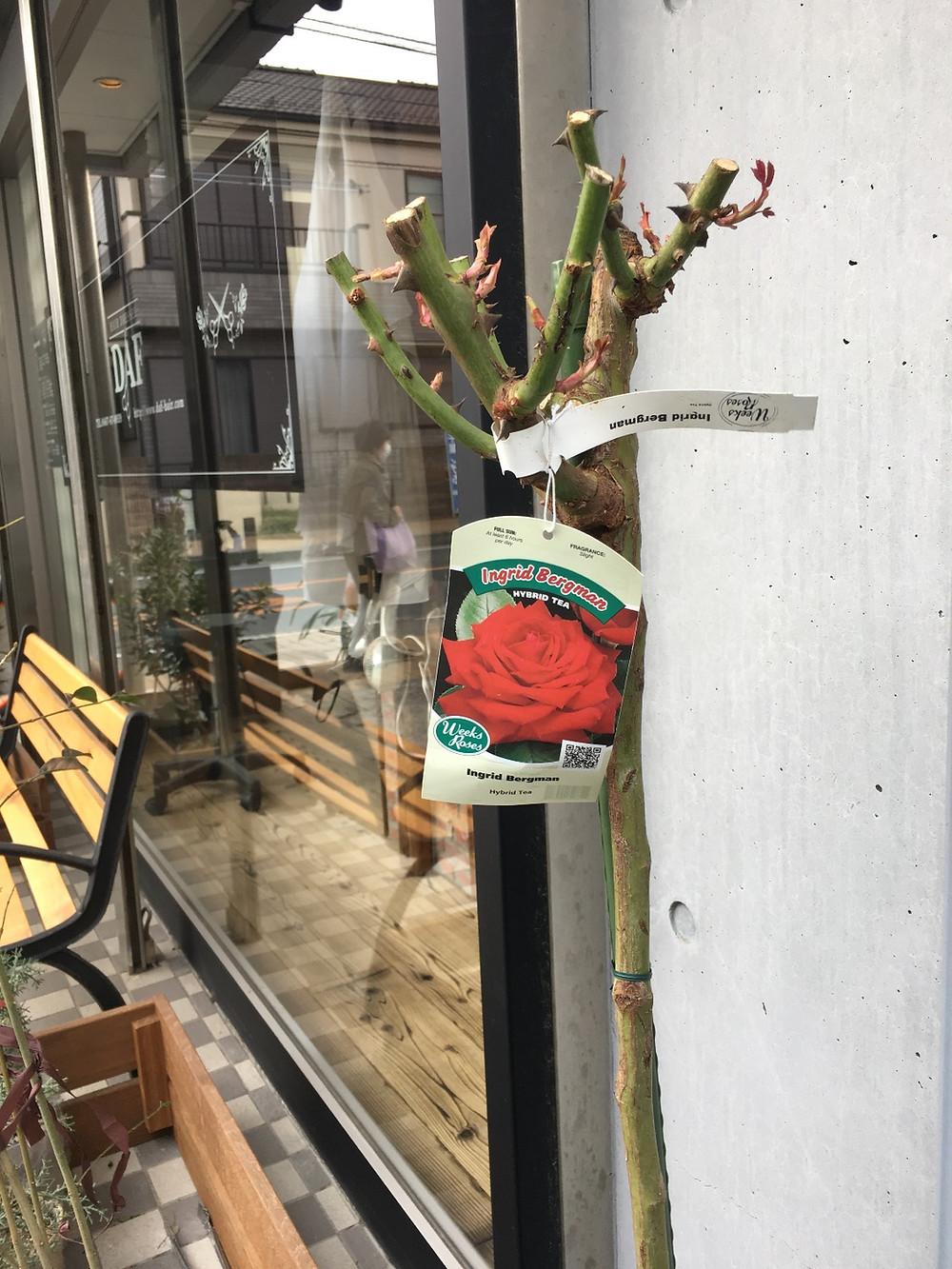 イングリッドバーグマンDAF hair rose garden