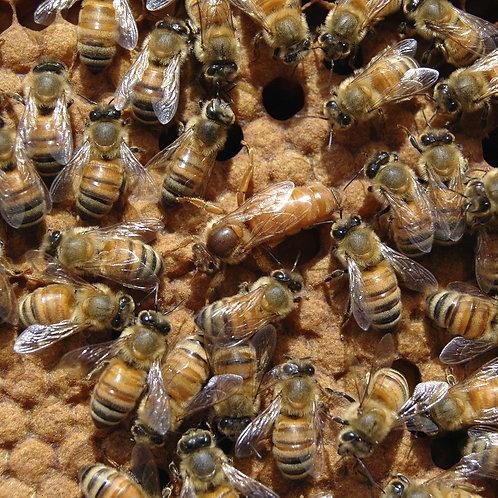 Mated Queen Bee