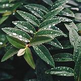 foglie bagnate