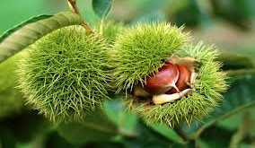 A Tale of Chestnuts – Winter, Chinese Medicine & Lower Back Pain
