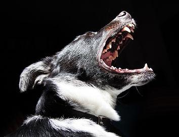 Mustavalkoinen koira