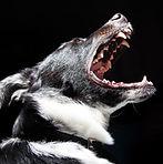 barking reactive bad dog