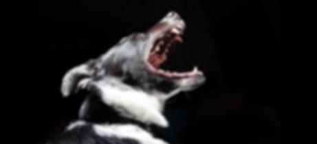 formation chien mordeur catégorisé angers brissac 49 permis educateur canin habilité education canine american staff rottweiler categorie 1 et 2 prefecture maine et loire