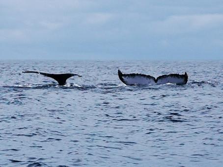 Humpback Whale seasons (Megaptera novaeangliae)